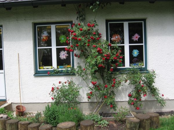 Rosenstock an der Gartenseite
